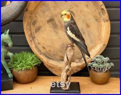 Véritable oiseau de taxidermie Nymphicus hollandicus