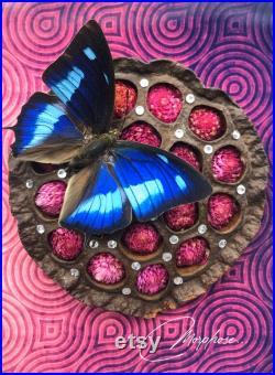 Véritable papillon naturalisé Polygrapha cyanea originaire d Equateur, de Colombie ou du Pérou, sous cadre vitrine noir.