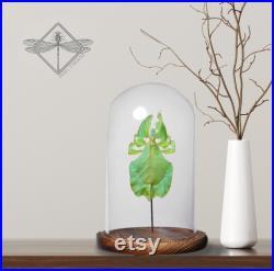 Véritable phyllium giganteum feuille insecte taxidermie verre Cloche dôme en bois base unique entomologie