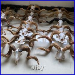 Vrai crâne de mouton Taxidermy avec longhorns, art vrai d os de crâne d animal