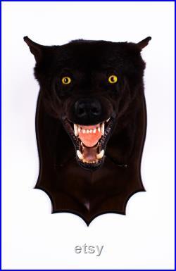 Vraie taxidermie Coyote Mammifère Animal empaillé Trophée de chasse Décoration de maison Canis latrans
