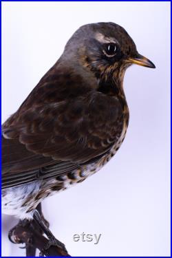Vraie taxidermie Grive draine Oiseau Animal empaillé Trophée de chasse Décoration de maison Turdus viscivorus