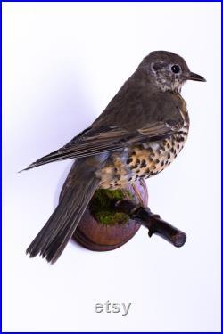 Vraie taxidermie Grive litorne Oiseau Animal empaillé Trophée de chasse Décoration de maison Turdus pilaris