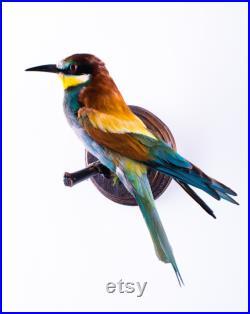 Vraie taxidermie Guêpier d'Europe Oiseau Animal empaillé Trophée de chasse Décoration de maison Merops apiaster