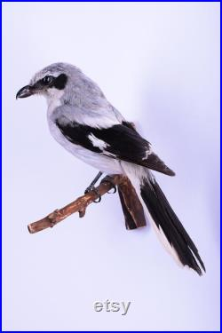 Vraie taxidermie Pie-grièche grise Oiseau Animal empaillé Trophée de chasse Décoration de maison Lanius excubitor