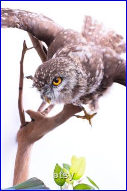 Vraie taxidermie Rapaces Chevêche d'Athéna Animal empaillé Trophée de chasse Décoration de maison CITES Athene noctua