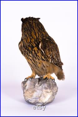 Vraie taxidermie Rapaces Hibou grand-duc Animal empaillé Trophée de chasse Décoration de maison CITES Bubo bubo
