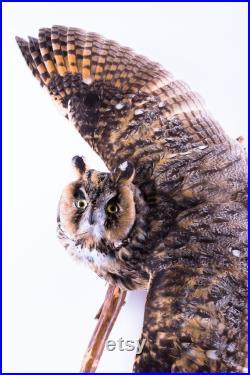 Vraie taxidermie Rapaces Hibou moyen-duc Animal empaillé Trophée de chasse Décoration de maison CITES Asio otus