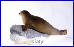 Vraie taxidermie phoque de Sibérie Mammifère Animal empaillé Trophée de chasse Décoration de maison Pusa sibirica