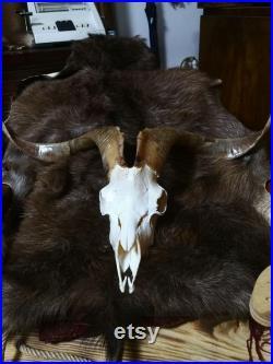 Wild Ibex Skull Farmhouse Decor Real Horn Home Decor Saanen Goat