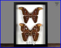 XXL Couple Attacus atlas Atlasspinner , cadre Véritable papillon de la nuit dans le cadre de la nature Curiosité motte géante Taxidermie Décoration