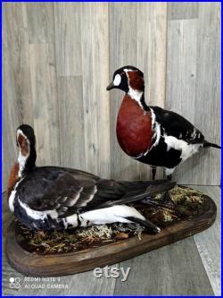 caserne rouge-zaik, oie à poitrine rouge, Branta ruficollis