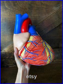 modèle anatomique vintage de coeur, modèle grand coeur, détails impairs et curiosités, modèle biologique