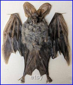 p49d Taxidermie Lesser False Vampire Bat Shadowbox curiosités spécimen bizarreries Educational Wall Hanging Oddity Curiosity Specimen Decor
