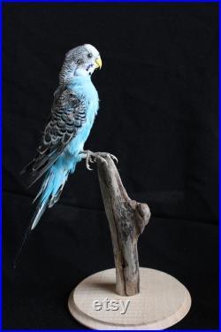 taxidermie oiseaux perruche bleu empaillé naturalisé taxidermy bird curiosité