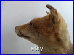 vintage Fran ais Red Fox Cub Animal Animal Taxidermy Statue Figurine Ornement Chasse Tophy Gift Man Cave Display Prop c1950-60's Boutique anglaise
